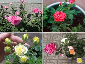 """Kỹ thuật trồng hoa hồng tỉ muội tại nhà dễ """"không tưởng"""""""