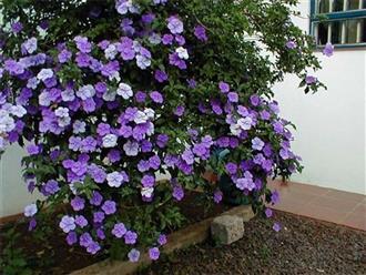 Kỹ thuật trồng và chăm sóc cây hoa nhài nhật cho ra hoa rực rỡ quanh năm