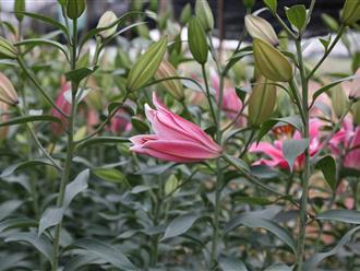 Cách phân biệt hoa ly tươi và hoa đông lạnh