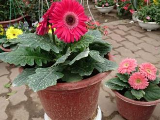 Đón may mắn, phát lộc tài nhờ cách gieo trồng cây hoa đồng tiền tại nhà cực đơn giản