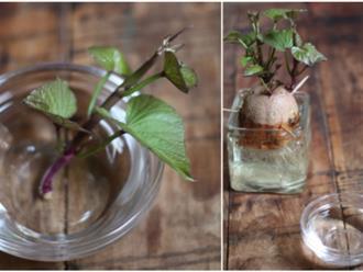 Cách trồng khoai lang làm cảnh đơn giản chỉ từ 1 củ khoai và 1 cốc nước