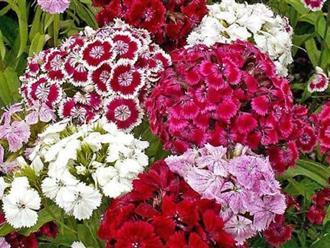Khám phá ý nghĩa của loài hoa cẩm chướng ít ai biết đến