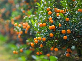 Cách trồng và chăm sóc cây quất bonsai đúng kỹ thuật sau Tết