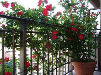 Ngỡ ngàng với cách trồng hoa hồng leo trong chậu cực đơn giản ai cũng làm được