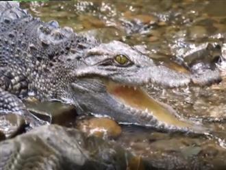 Tình cờ phát hiện cá sấu nằm bên bờ suối, nam thanh niên có hành động bất ngờ khiến 'sát thủ đầm lầy' phải chịu hàng