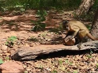 Lượm được trái dừa khô, khỉ con dùng đá đập để ăn thứ bên trong, hành động cực kỳ thông minh khiến ai cũng thán phục