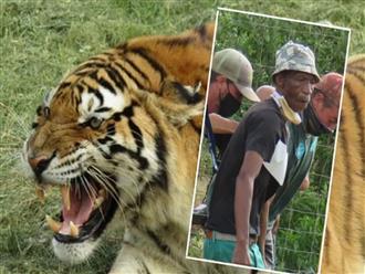 Kinh hoàng: Muốn chứng tỏ bản lĩnh phái mạnh với hổ cái, một con hổ vồ chết người coi vườn thú và tấn công một hổ đực khác
