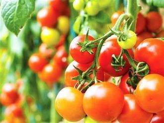 Những công dụng của cà chua với sức khỏe và làm đẹp cho chị em