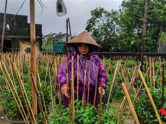 Sau lũ, người dân đội mưa rét chăm hoa cho kịp Tết