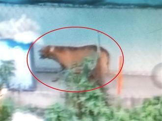 Bí ẩn vụ chó cắn chết người ở Long An sau cú 'quơ tay, quơ chân': Vì sao chó Pitbull 'nổi điên' cắn người?