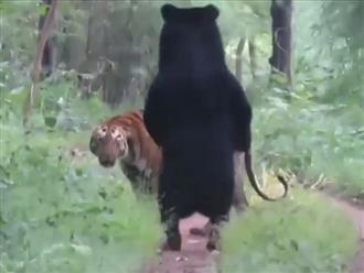 Cuộc chạm trán bất ngơ giữa 'mãnh hổ rừng xanh' và gấu đen, liệu kết quả sẽ như thế nào?