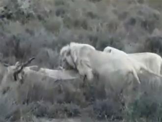Mục sở thị khi vô tình phát hiện một đàn sư tử trắng quý hiếm cùng nhau phối hợp săn linh dương