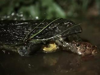 Vừa thoát khỏi sự truy sát của rắn hổ mang, con cóc xui xẻo đã bị 'ăn tươi nuốt sống' bởi một con ếch khủng