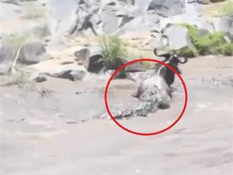 Vượt sông bất thành, linh dương đầu bò trở thành mồi ngon cho con 'THỦY QUÁI ĐẦM LẦY'