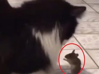 Bị hai con mèo vây quanh, chuột 'chắp tay' van xin được tha mạng, người xem vô cùng phấn khích và hóng cái kết