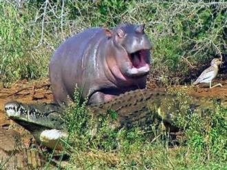Cười ra nước mắt với tình huống hà mã TRÊU ĐÙA cả đàn cá sấu nhưng lại CHẠY TÉ KHÓI khi gặp trâu rừng