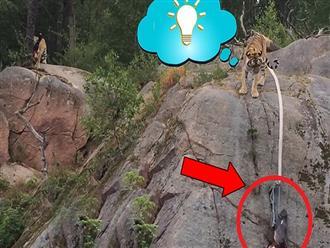 Phát hiện miếng thịt CHEO LEO bên vách núi, con hổ có hành động bất ngờ khiến du khách ngỡ ngàng đến kinh ngạc