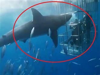 Rùng mình cảnh tượng cá mập trắng điên cuồng tấn công lồng kính bảo vệ, số phận người bên trong sẽ ra sao khi cửa bị bể?