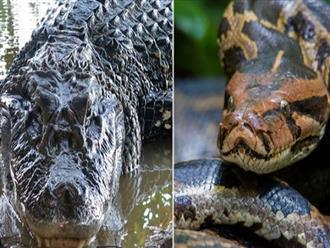 Rùng mình trước TRẬN TỬ CHIẾN đẫm máu của 2 'quái thú', cá sấu HẠ SÁT trăn khổng lồ bằng 'tuyệt chiêu' thú vị
