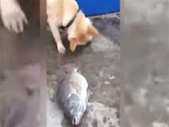 Thấy cá rô phi nằm BẤT ĐỘNG dưới đất, chó nhà MẢI MIẾT tát nước cứu mạng, nhưng mọi cố gắng đều trở nên VÔ VỌNG