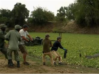 Gần chục người đàn ông lực lưỡng hợp sức kéo cá sấu khổng lồ lên bờ, sơ sẩy một chút là mất mạng như chơi