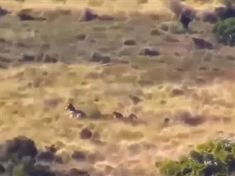 Bị báo đốm truy sát, ngựa vằn mẹ ra sức bảo vệ con non và cái kết của trận tử chiến