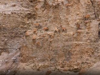 Bị cáo truy đuổi, đàn dê con liều mình lao xuống vách đá dựng đứng, bay vèo vèo như phim điện ảnh khiến người xem thót tim