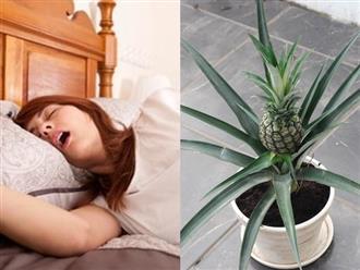 Cách chữa ngáy ngủ cực nhanh chỉ với 1 cây dứa đặt trong phòng