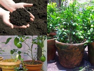 Cách trồng chanh trong chậu cực đơn giản, cây sai trĩu quả hái mỏi tay không hết