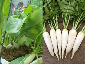 Cách trồng củ cải bằng thùng xốp, sau 2 tháng đã có thu hoạch để làm dưa món ngày Tết
