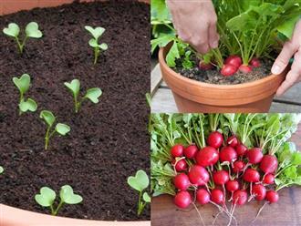 Cách trồng củ cải đỏ đơn giản tại nhà, thu hoạch ngay chỉ sau 1 tháng