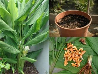 Cách trồng nghệ cực đơn giản tại nhà, chị em tha hồ thu hoạch để làm đẹp da, giảm cân