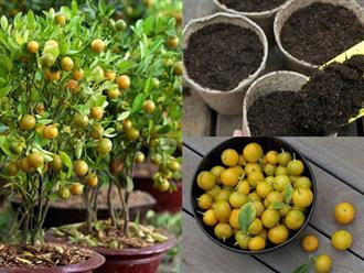 Cách trồng quất tại nhà cực đơn giản nhanh cho thu hoạch, chị em tha hồ lấy quả làm mứt trị ho