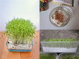 Cách trồng rau mầm bằng giấy ăn cực đơn giản tại nhà, thu hoạch mỏi tay không hết