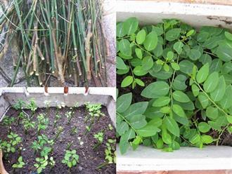 Cách trồng rau ngót trong thùng xốp cực đơn giản, rau xanh mơn mởn hái mỏi tay không hết
