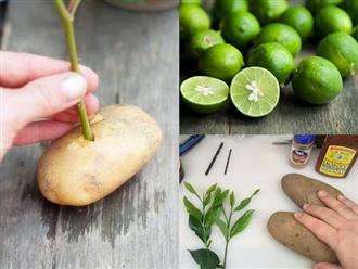 Cắm cành chanh vào củ khoai tây: Cách trồng lạ đời nhưng cho cây sai trĩu quả chị em thi nhau làm theo