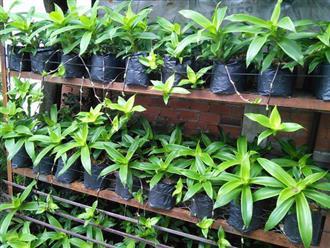 Chị em thi nhau học cách trồng cây lược vàng trong nhà để vừa thanh lọc không khí vừa tận dụng làm thuốc