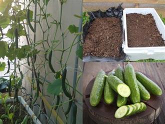 Chị em thi nhau học cách trồng dưa leo bằng thùng xốp, thu hoạch mỏi tay không hết