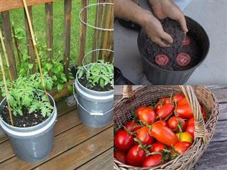 Chớ dại vứt cà chua chín nẫu đi, làm theo cách này chẳng mấy chốc mà có cả vườn ăn quanh năm không hết