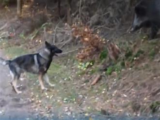 Rảnh rỗi sinh nông nổi, chó becgie trêu chọc lợn rừng và nhận về cái kết bẽ bàng