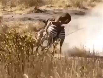 Đu bám ngựa vằn, sư tử liên tục bị con mồi hành 'lên bờ xuống ruộng' và nhận về cái kết đắng