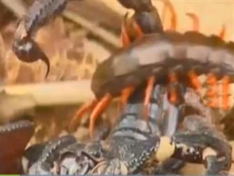 Đụng độ bọ cạp, rết độc tung tuyệt chiêu 'võ lâm' khiến đối thủ điêu đứng