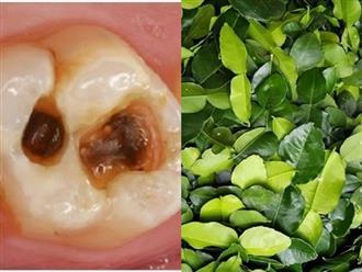 Dùng nước lá chanh đun đặc: Trị dứt điểm sâu răng, ê buốt, hôi miệng lâu năm và viêm lợi
