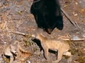 Sư tử mẹ quyết chiến với gấu đen khổng lồ để bảo vệ đàn con và cái kết