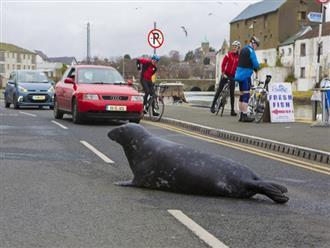 Chú hải cẩu béo ú đều đặn ngày 3 bữa leo lên bờ vào chợ xin ăn khiến ai nấy không thể nhịn cười