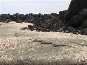 Kinh hãi cảnh kỳ nhông tháo chạy khi bị hàng chục con rắn truy đuổi, bao vây và cái kết ngỡ ngàng