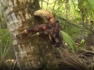 Kinh ngạc cảnh cua khổng lồ bóc dừa khô cực nhanh, leo cây thoăn thoắt