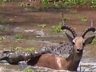Linh dương bị 3 'sát thủ đầm lầy' đu bám kéo xuống bùn nhưng điều không ngờ đã xảy ra