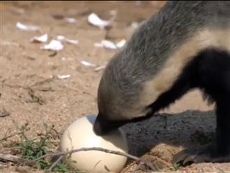 Trộm được trứng đà điểu, lửng mật 'chật vật' tìm cách đập trứng khiến người xem không nhịn được cười