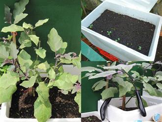 Mách chị em cách trồng cà tím ngừa ung thư trong thùng xốp cực đơn giản tại nhà